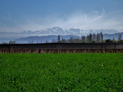 Grapevines and the Andes.
