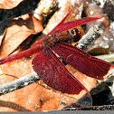 Red Grasshawk