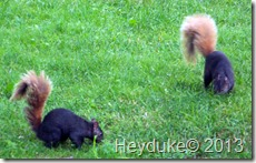 fox squirrels
