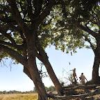 Man gezielten Würfen kann man die Früchte des Leberwurstbaums ernten. © Foto: Marco Penzel | Outback Africa Erlebnisreisen