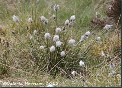 41-hares-tail-cotton-grass