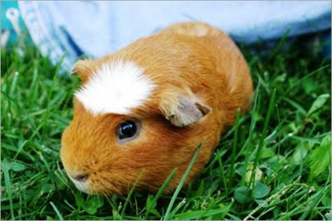 White-crested Guinea Pig