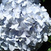 Hydrangea - Photo (c) DavidR.808, some rights reserved (CC BY-NC-SA)