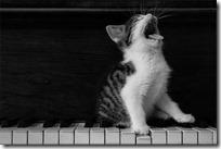 gato pianista blogdeimagenes (33)