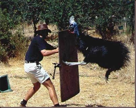 Amazing Animal Pictures The cassowary (6)