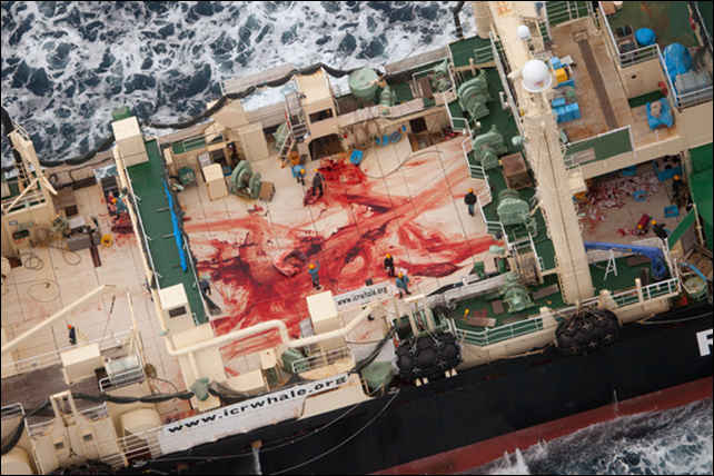 Aerial view of blood on the deck of the Nisshin Maru, after three whales were butchered. On 5 January 2014, Japanese poachers slaughtered 3 minke whales, and Sea Shepherd Australia captured their illegal activities on camera as witnessed by the bloodied deck of the Nisshin Maru, stained from the butchering of these magnificent sentient creatures. Photo: Tim Watters / Sea Shepherd Australia