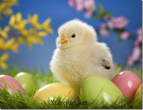 254134,xcitefun-yellow-chicken-babies-photo-shoots-3