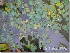 坑坑洞洞的莕菜葉