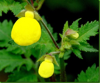 Calceolaria_mexicana