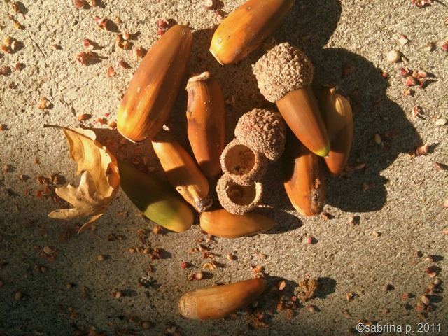 brown acorns