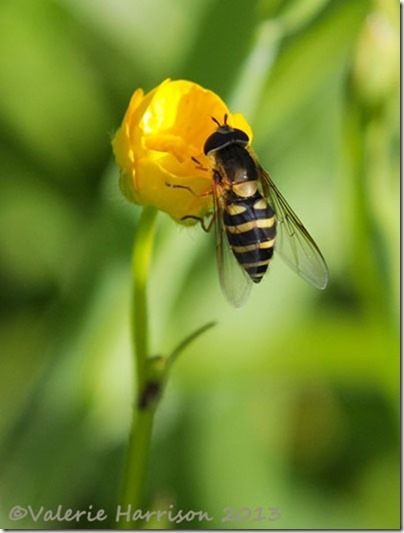 hoverfly-eupeodes-sp