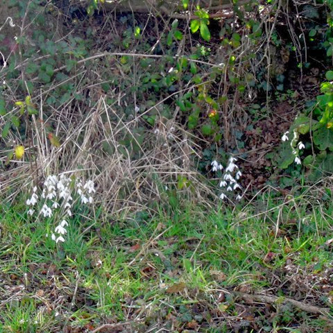 hedgerow snowdrops