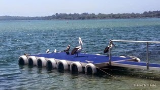 Port Macquarie pelicans