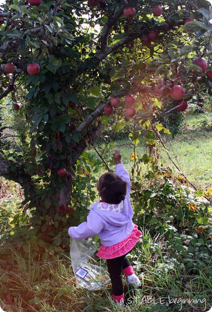 GML apple picking 2012 102