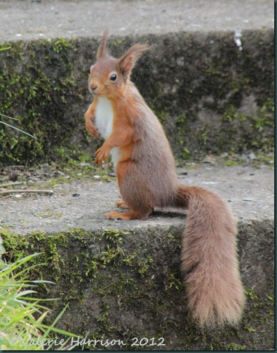 2 red-squirrel-1