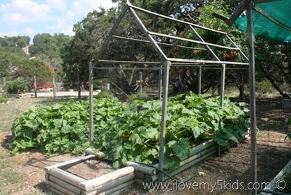 Squash in Raised Gardens