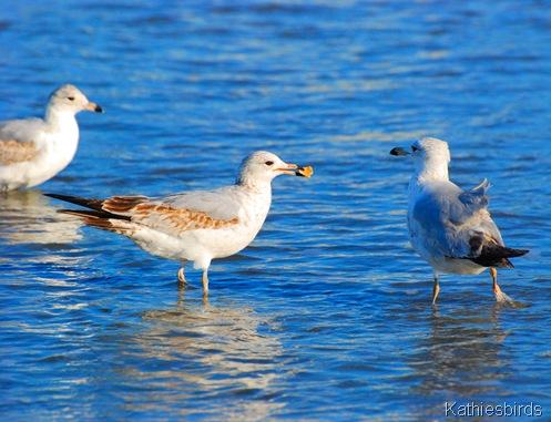 2. immature gulls-kab