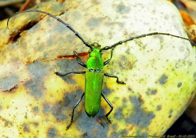 Probablement : Cerambycinae : Aglaoschema rufiventre (GERMAR, 1824). Pitangui (MG, Brésil), 1er décembre 2013. Photo : Nicodemos Rosa