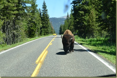 Bison on Road-3