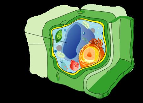 Plant vacuole