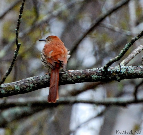 2. brown thrasher-kab