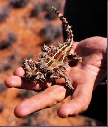 Amazing Pictures of Animals, photo, Nature, exotic, funny, incredibel Zoo, Horned lizard, Phrynosoma, Reptilia, Alex (8)