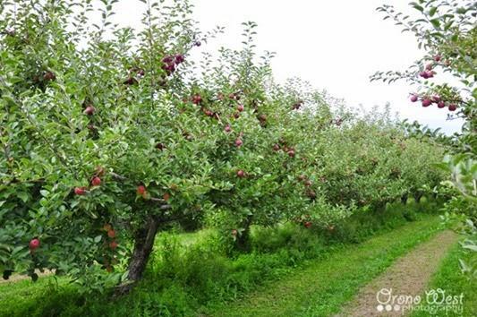 apple_picking6LROW
