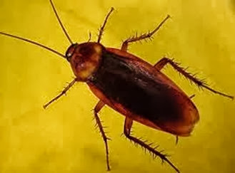 Amazing Pictures of Animals,Photo, Nature, Incredibel, Funny, Zoo, Cockroaches,Blattaria or Blattodea, Insecta, Alex (4)