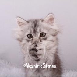Alexandrite Siberians