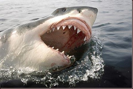 Amazing Animals Pictures White Shark (13)