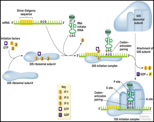 initiation of protein synthesis in prokaryotes