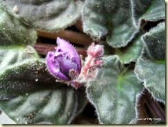 African violets bud