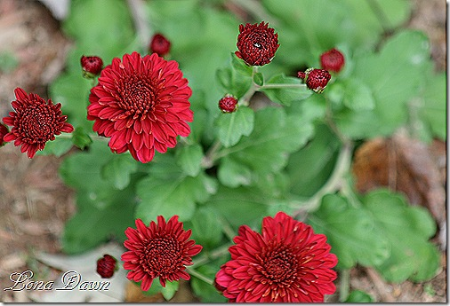 Chrysanthemum_Red2