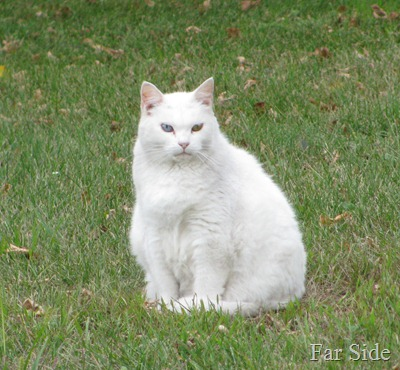 The white cat is grumpy