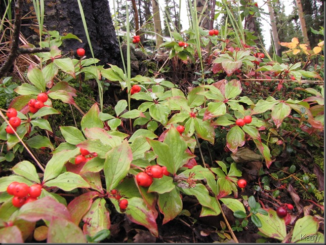 Ground Dogwood Berries