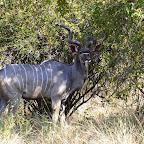 Ruaha Nationalpark, Kudu © Foto: Ulrike Pârvu | Outback Africa Erlebnisreisen
