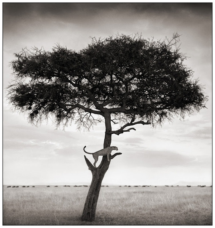 15 Cheetah in Tree