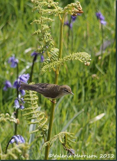 28-willow-warbler