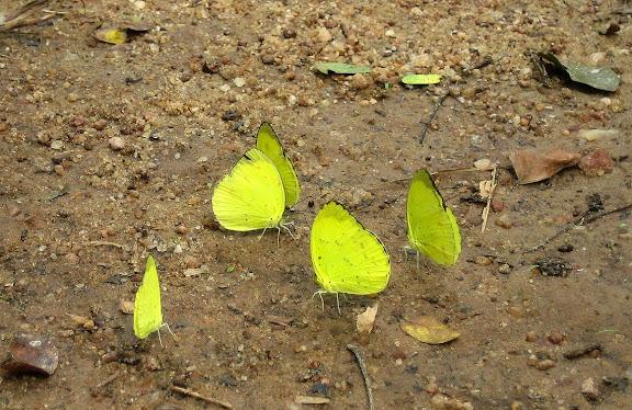 Eurema senegalensis BOISDUVAL, 1836. Bobiri Forest (Ghana), 18 janvier 2006. Photo : Henrik Bloch