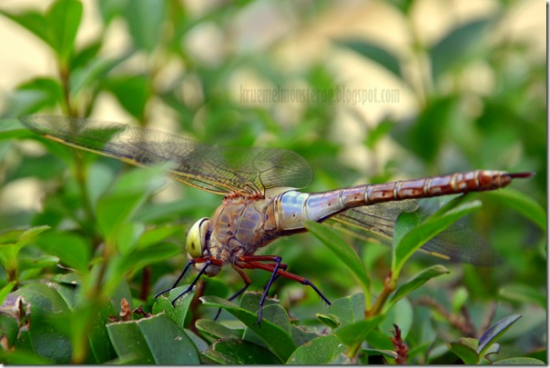 Odonata {Libelle}