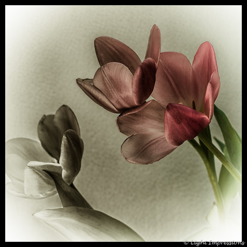 Light Impressions-Tulips-2