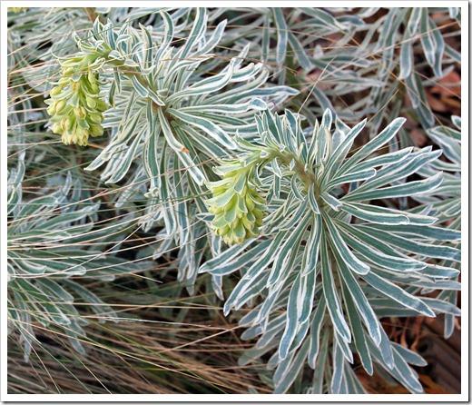 130225_Euphorbia-characias-Glacier-Blue_06