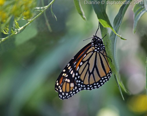 IMG_2302 Monarch Butterfly