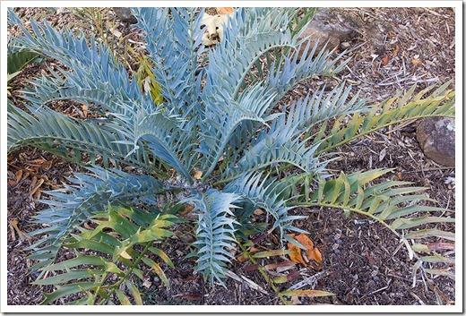 111228_UCBG_Encephalartos-trispinosus_05
