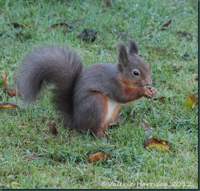 red-squirrel (3)