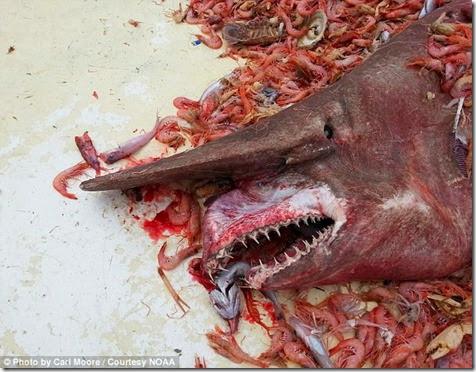 tiburon duende golfo de mexico
