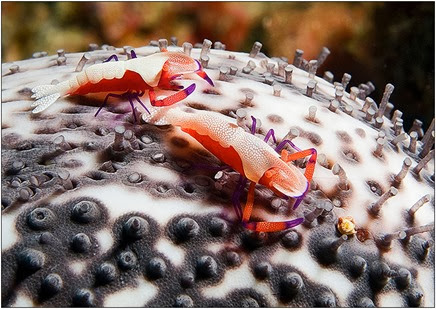 Amazing Pictures of Animals, Photo, Nature, Incredibel, Funny, Zoo, Periclimenes imperator, Emperor shrimp, Crustacea,Alex (12)
