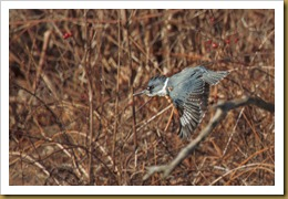 - KingfisherROT_1961 January 02, 2012 NIKON D3S