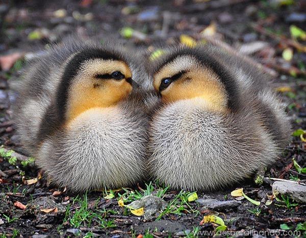filhotes-patos-fofos-pequenos-desbaratinando (2)