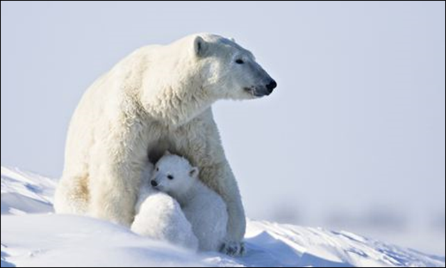 A polar bear nurses her two cubs. Global warming is reducing the sea ice level that female polar cubs need to hunt for food. Photo: Frank Lukasseck / Getty Images